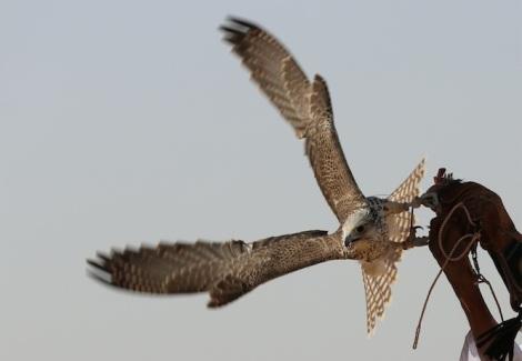 Falcon Fijianchick