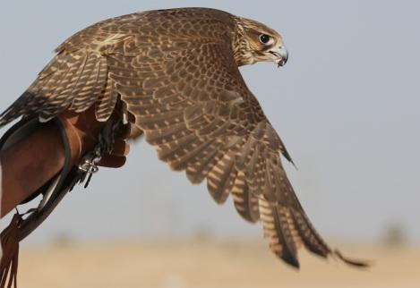 shereen falcon