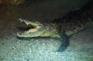 King Croc at Dubai Aquarium & Underwater Zoo