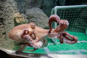 Giant Octopus at Dubai Aquarium Shereen